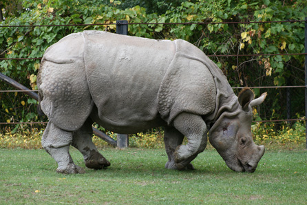 Indian rhino in the Metro Zoo Toronto. Photo: Darren Swim / http://creativecommons.org/licenses/by-sa/3.0/deed.en