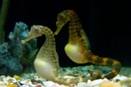 Potbelly Seahorses at Tennessee Aquarium, Chattanooga, TN, USA. Photo: Joanne Merriam / http://creativecommons.org/licenses/by-sa/3.0/deed.en