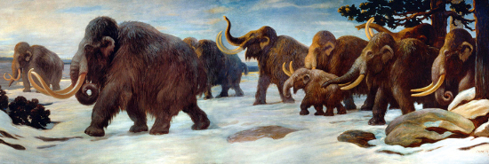 Restoration of a herd of Mammoths walking near the Somme River by Charles R. Knight. Source: Wikipedia.