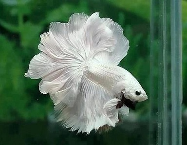 White male Siamese fighting fish. Photograph: Kingloovr / https://creativecommons.org/licenses/by-sa/3.0/deed.en