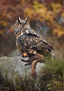 Owls hunt pine martens too. Photograph: Martin Mecnarowski / http://creativecommons.org/licenses/by-sa/3.0/