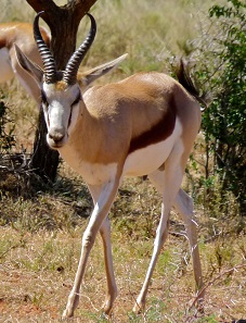 The springbok is the heraldic animal of the Republic of South Africa. Photo: Bernard Dupont / Wikipedia.