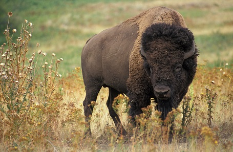 Buffalo. Photo: Wikipedia / Jack Dykinga, Agricultural Resarch Service, USA.