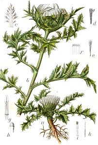 Illustration of the carline thistle in 'Deutschlands Flora in Abbildungen' of 1796.