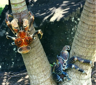 Coconut crabs vary in size and coloring. Photo: Brocken Inaglory / CC BY-SA 3.0