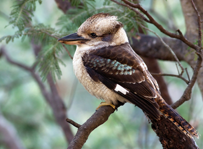 Australian Kookaburra. Photo: JJ Harrison / CC BY-SA 3.0