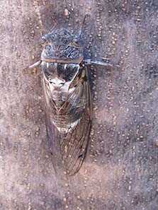 Cicada, not on a coin this time but in the flesh. Photograph: KW.