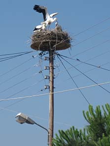 Young storks in the nest. Photograph: KW.