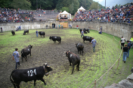 Men conduct the cows in groups into the arena.