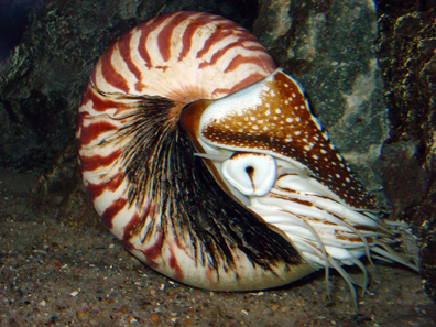 Nautilus shell. Photo: J. Baecker / Wikipedia.
