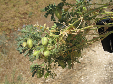 Chickpeas right from the shell. A real tidbid. Photograph: KW.
