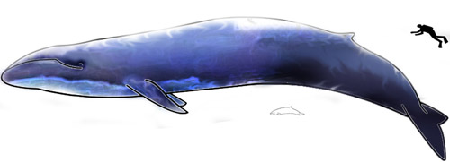 Largest and smallest whale (Blue Whale and Hector Dolphine). Source: T. Bjornstad / Wikipedia.