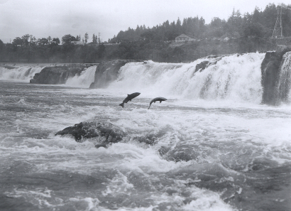 Salmon leaping at Willamette Falls. NOAA's Historic Fisheries Collection, Oregon, Oregon City, June 27, 1950. Source. Wikipedia.