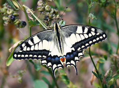Papilio machaon. Photo: Lucarelli / Wikipedia. http://creativecommons.org/licenses/by-sa/3.0/deed.en